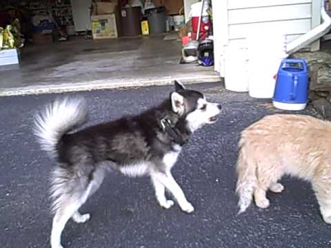 Populaire Miki and the cat Alaskan Klee Kai - YouTube DY39