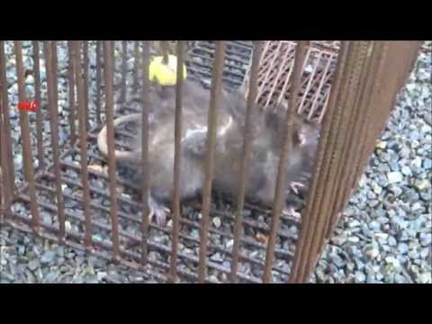 Shifting angry rat from small to big rat trap