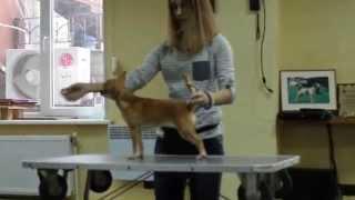 VLOG-УРОК: хендлинг –  искусство представления собак на выставках