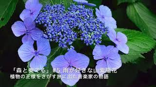 ラジオドラマ「森と奏でる」植物の王様をさがす旅に出た音楽家の物語#5 雨が好きな山紫陽花