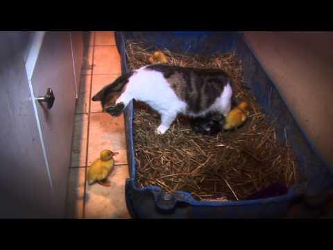 Katze adoptiert Entenküken
