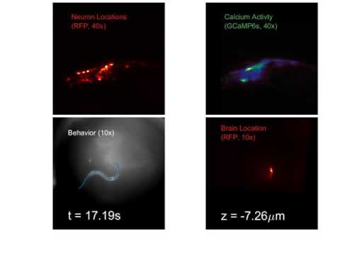 Imaging system tracks brain activity of a freely moving worm