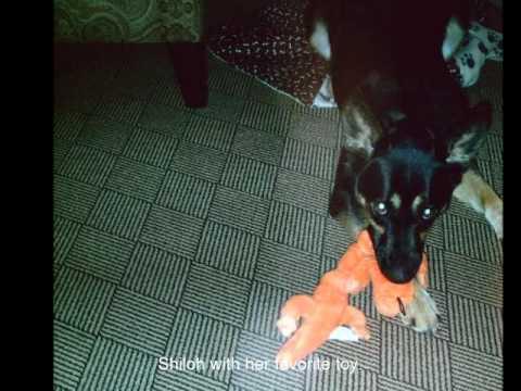 Shiloh, Summit Assistance Dog