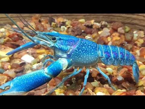Red Claw Crayfish In AQUAWORLD (Fish Exhibiton) Kanyakumari