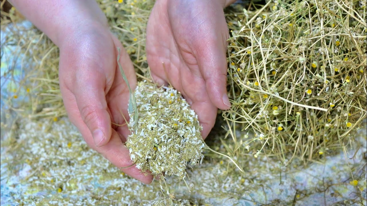 Come Seccare Le Piante come raccogliere, seccare e conservare la camomilla 🌼