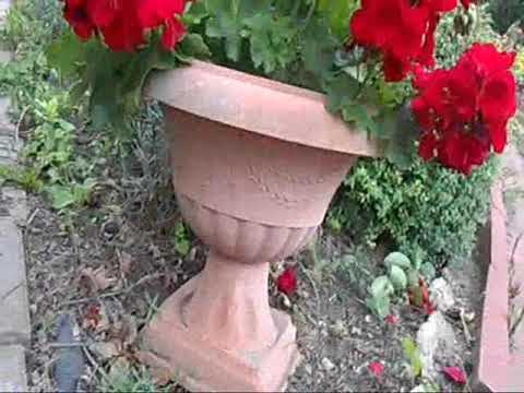 пеларгония (домашняя герань) в августе