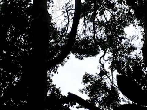 spot the monkey high in the tree in suriname forrest 2