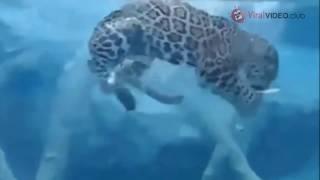 Big Cats in water [Jaguar HD]