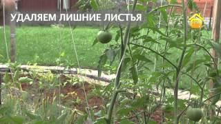 Уход за томатами летом. В деталях // FORUMHOUSE(Больше видео на http://www.forumhouse.tv Вырастить помидорную рассаду мало, даже взрослая она требует ухода за собой...., 2013-09-04T09:51:04.000Z)