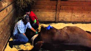 Foaling at Performance Equine Vets
