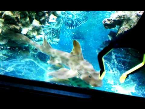 epaulette shark tank - photo #10