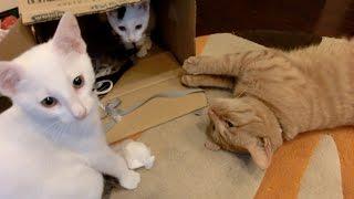 長めの動画です。 妹子猫タマの口に綿みたいなものが引っ付いてしまって...