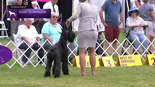 Giant Schnauzers | Breed Judging 2021