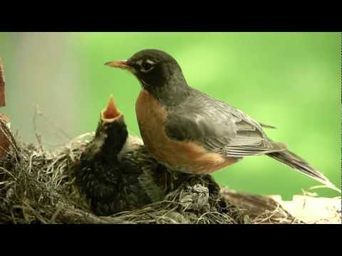 Mother bird feeding worms to cute baby Robin. Canon 5D II.