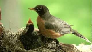 Mother bird feeding worms to cute baby Robin. Canon 5D II.