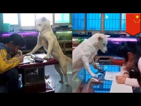 Anjing Ini Mengawasi Anak Ketika Kerjakan PR - TomoNews