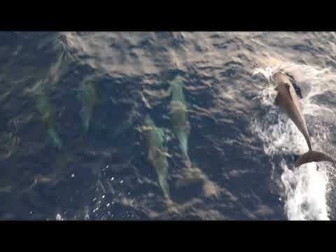 Dolphins Kidding with Merchant Navy Ship