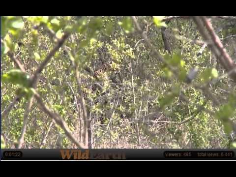 WildEarth Safari: Karula the Leopard Stalking Nyala