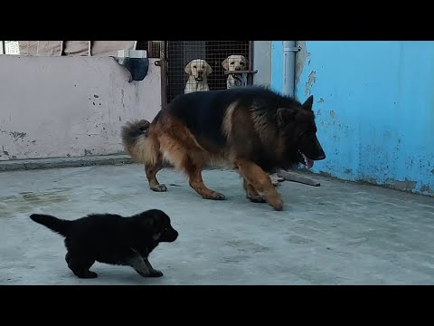 German Shepherd Longcoat  Puppy For Sale   Father   9053119990,9053119992  Doggyz World