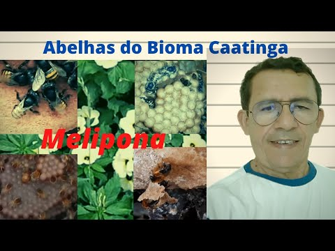 Jandaíra (Melipona subnitida) no tronco da imburana  - Ponta do Mel-RN