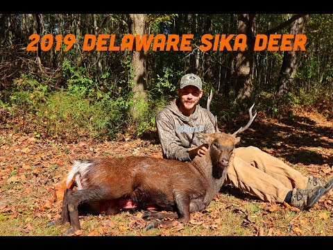 2019 SIKA DEER HUNTING IN DELAWARE