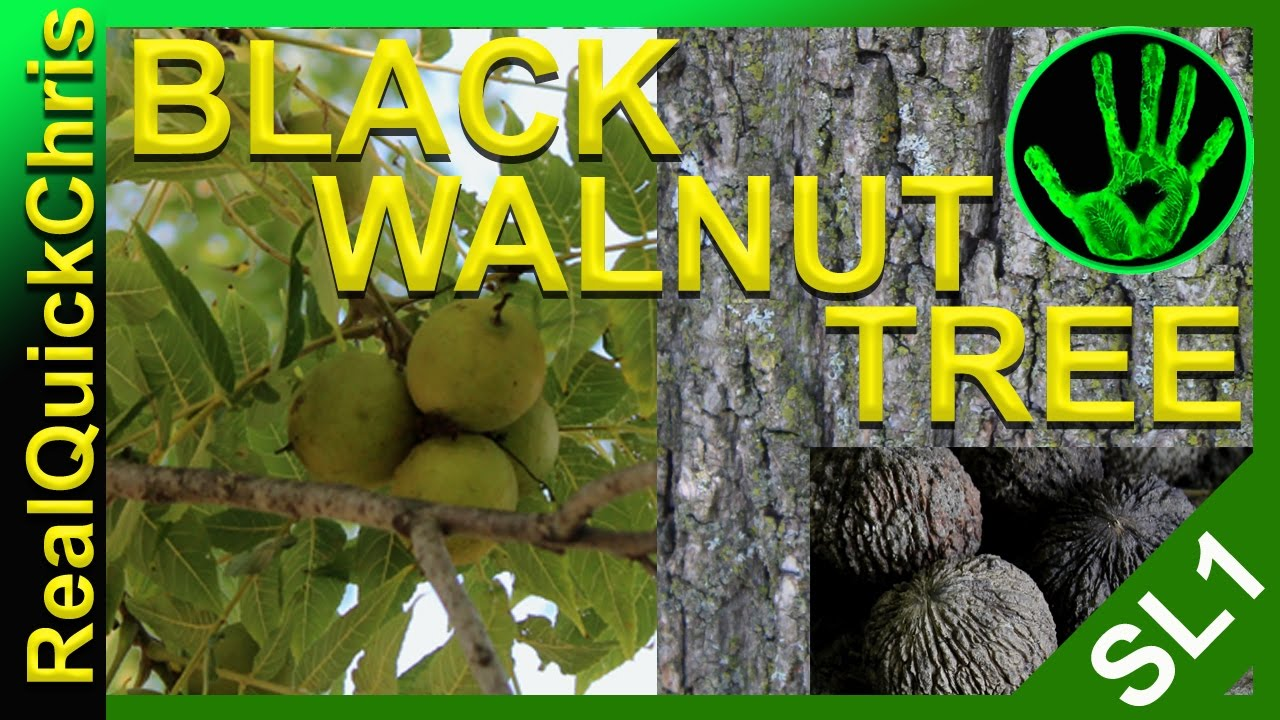 identifying a black walnut tree and eating the nuts