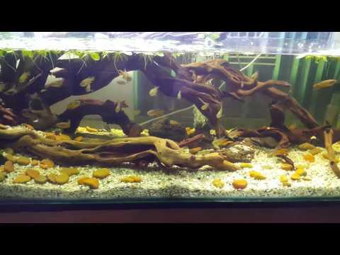 Paradise Fish Hardscape Biotope Aquarium  ( 4k Video )