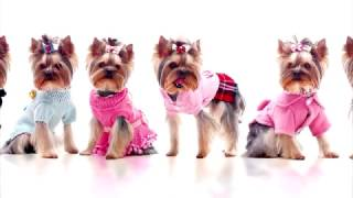 Выкройки одежды для собак! Одежда для собак! Выкройка комбинезона для небольшой собаки