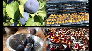 How to CUT aฑd DRY PLUMS Fast!