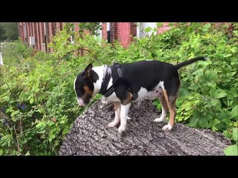 BULLTERRIER AUF DICKEN BAUMSTAMM Bully Miniature Bull Terrier Hund Haustier Witzig Tier Lustig Baum