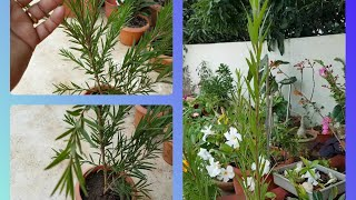 299.खूबसूरत बाटलब्रश को कैसे लगाऐं/ How to grow Bottle Brush plant