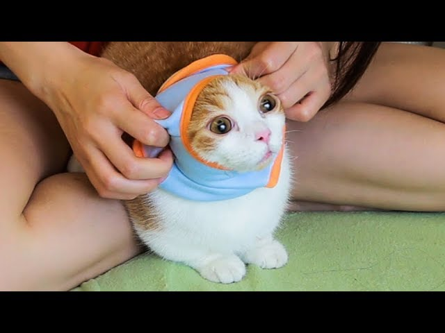 给猫咪换上新衣服-主人感觉它开心到变形-猫-妈这个有点紧