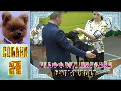 Стаффордширский Бультерьер Staffordshire Bull Terrier. Выставка собак всех пород.