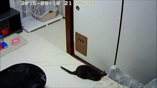 我が愛猫、ロシアンブルーのロシ子の成長記録を綴っています。 ロシ子の...