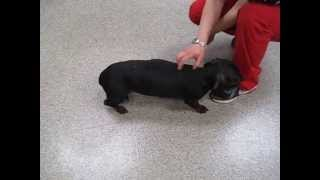 Macca The Dachshund, Post Back Injury