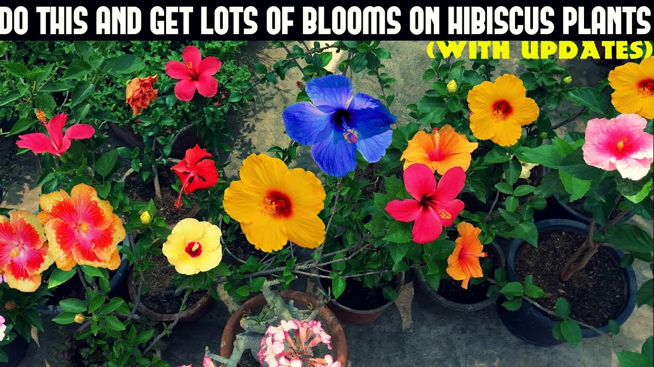 How To Prepare Hibiscus Plants To Get Lots Of Blooms With Updates