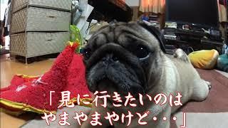 我が家の愛犬パグ「サクラ」今年も桜の季節がやってきました。一方サク...
