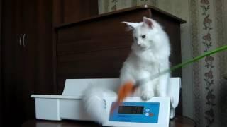 ЛИРИКУМ Шедевр 3 месяца  и 3 недели, очень крупный котенок мейн-кун