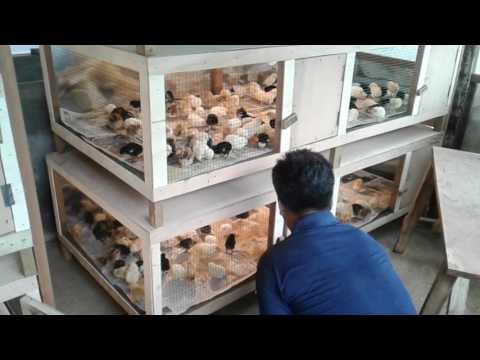 Contoh Box penghangat untuk DOC Ayam Kampung @doc.HASIL UNGGAS FARM