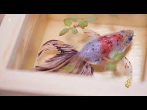 هذا الصباح- ياباني يطوّر تقنية لرسم أسماك الزينة الذهبية  - 13:21-2017 / 10 / 14
