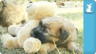 Puppy Naps On A Teddy Bear - Puppy Love
