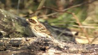 ミヤマホオジロ♀ Yellow-throated bunting 2/3 Mp3
