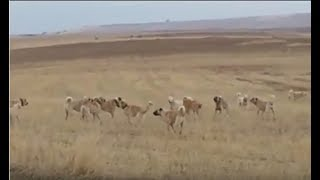 kangal kavgası koyunları koruyan iki kangal kpek srs karşı karşıya kpek dvşleri