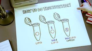 How To Do Transfection, Short Overview Illustrated on Bench Paper