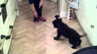 Mini Schnauzer Puppy Training!