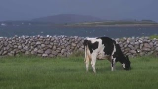 Thomas mahon farms with his son Éanna outside the scenic village of kinvara in county galway on west coast ireland. irish climate is ideal for nat...