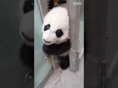 Cheeky panda cub sneaks out of enclosure for a walk