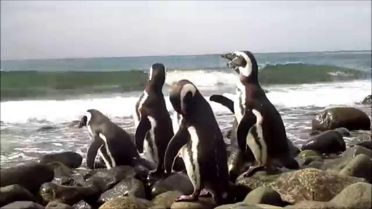 Resultado de imagen para pinguino magallanes