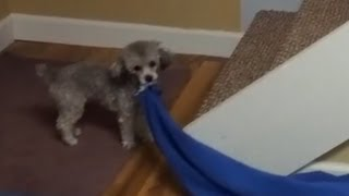 Funny Pet Video, Matilda Wants Her Blanket Upstairs.