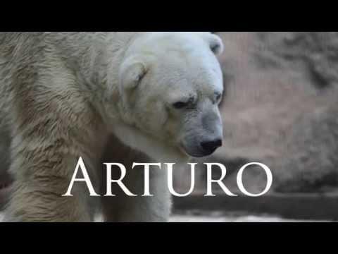 Arturo the Polar Bear 'going insane'